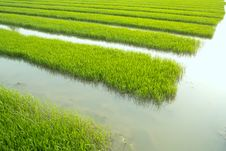 Free Rice Seedlings Stock Photo - 14310940