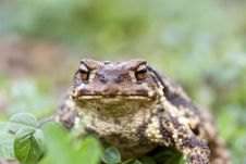 Free Common Toad Royalty Free Stock Photo - 14311915