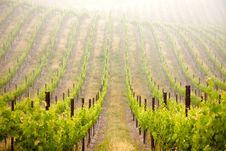 Free Beautiful Lush Grape Vineyard Royalty Free Stock Images - 14312299
