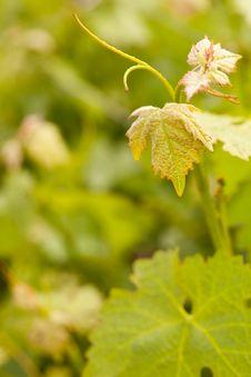 Free Beautiful Lush Grape Vineyard Leaves Stock Image - 14312311