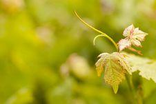 Free Beautiful Lush Grape Vineyard Leafs Royalty Free Stock Image - 14312316