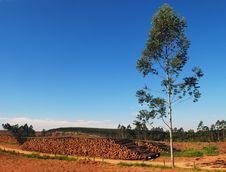 Eucalyptus Trees Stock Image