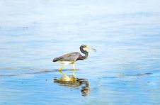 Free Heron Stock Photography - 14312962