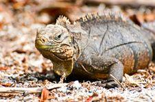 Free Iguana Stock Images - 14312964