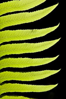 Backlit Fern Branch Leaves On Black Stock Image