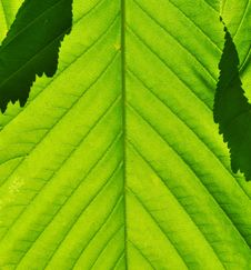 Free Green Leaf Close-up Stock Image - 14314341