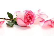 Free Petals And Rose Stock Photo - 14314590