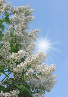 Free White Lilac Royalty Free Stock Photos - 14314678