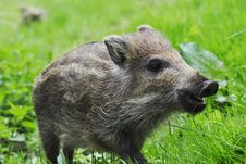 Free Young Wild Boar Royalty Free Stock Photos - 14314918