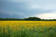 Free Yellow Field Royalty Free Stock Images - 14314919