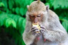 Free Monkey S Eating Corn Stock Images - 14315194