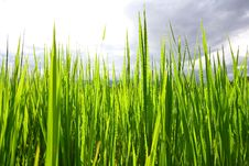 Free Rice Field Thailand Stock Photos - 14315223