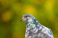 Free Pigeon Bird Royalty Free Stock Photography - 14315717