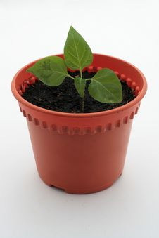 Free Small Plant In Pot Stock Image - 14315761