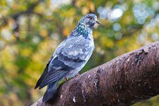 Free Pigeon Bird Stock Photos - 14315773