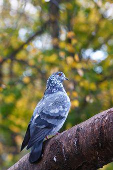 Free Pigeon Bird Stock Images - 14315814