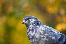 Free Pigeon Bird Royalty Free Stock Photos - 14315858
