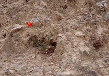 Free Lone Poppy On Stony Ground Stock Images - 14316004
