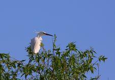 Free White Egret Egreta Garzetta Perching On Salix Tree Stock Image - 14316031