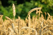 Free Part Of Wheat Field Royalty Free Stock Images - 14316199