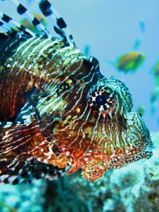 Free Lionfish Royalty Free Stock Image - 14316676