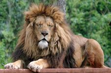 Free Male Lion With Eyes Closed Stock Images - 14317134