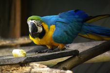 Free Parrot At Breakfast Royalty Free Stock Image - 14317306