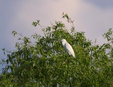 Free White Egret Egreta Garzetta Perching On Salix Tree Stock Images - 14317434