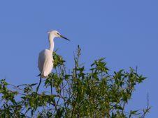 Free White Egret Egreta Garzetta Perching On Salix Tree Royalty Free Stock Photo - 14317845