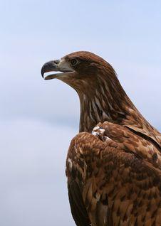 Free Eagle Portrait Stock Images - 14317884