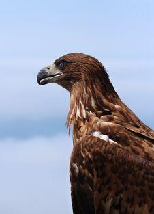 Free Eagle Portrait Royalty Free Stock Photo - 14317885