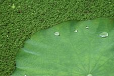 Free Water Drop On Lotus Leaf Royalty Free Stock Photo - 14318125