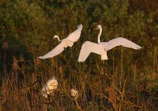 Free Great White Egret Egreta Alba Perching Stock Images - 14318714
