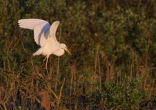 Free Great White Egret Egreta Alba Perching Royalty Free Stock Photo - 14318835