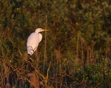 Free Great White Egret Egreta Alba Perching Royalty Free Stock Photos - 14319058