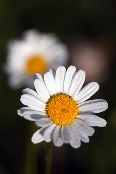 Free Daisies Under The Sun Stock Photo - 14319900