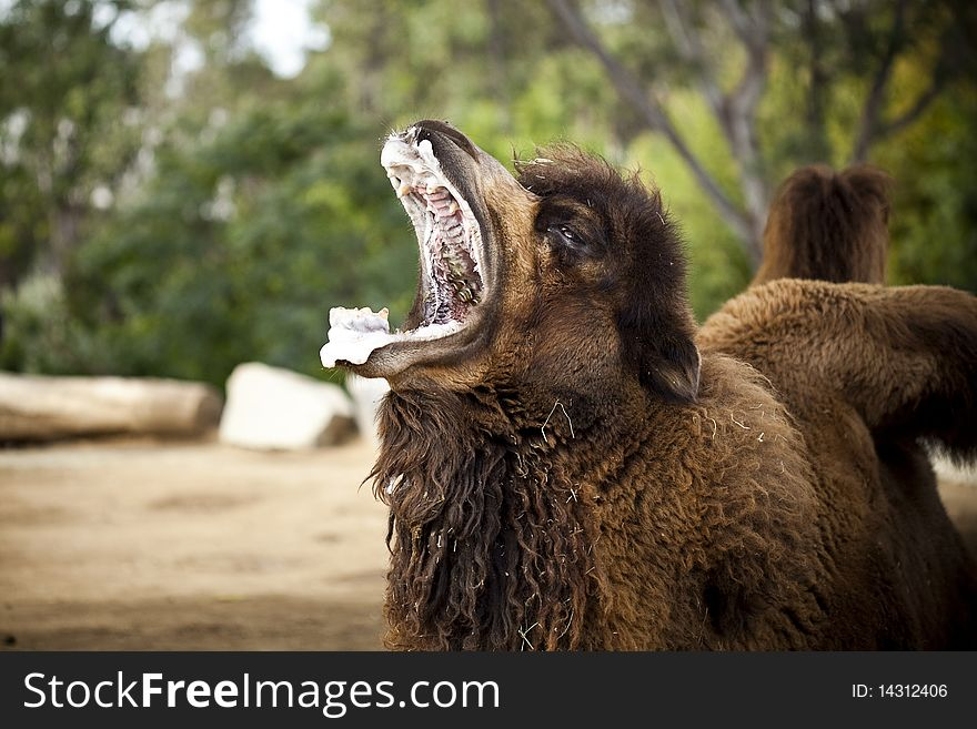Frothy Mouthed Camel Yawning