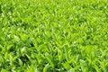 Free Leaf Background Royalty Free Stock Photo - 14320845