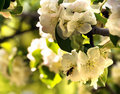 Free Spring Blossoms With A Bee Macro Royalty Free Stock Photography - 14321857
