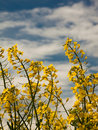 Free Yellow Field Blooms Royalty Free Stock Photography - 14323867