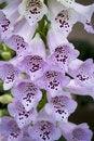 Free Light Purple Foxglove Flowers Royalty Free Stock Images - 14327359
