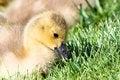 Free Gosling Canada Goose Stock Image - 14327921