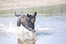 Free Brown Labrador Jumping In The Water Stock Image - 14320161