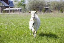 Free Goat Royalty Free Stock Image - 14320236