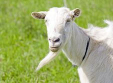 Free Goat Royalty Free Stock Images - 14320249