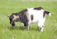 Free Goat Royalty Free Stock Photography - 14320277