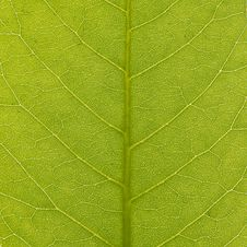 Free Green Leaf Texture, Closeup Stock Image - 14320321