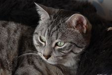 Free Cat Royalty Free Stock Photography - 14320327