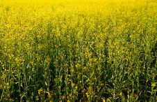 Free Golden Rapeseed Field. Stock Image - 14321161