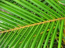 Free Palm Leaf Royalty Free Stock Images - 14321419